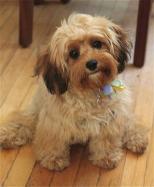 Cavapoo These Things Are Little Teddy Bears A Mix