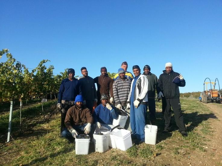 Surveyor Thomson Central Otago Vanuatu team of harvest workers