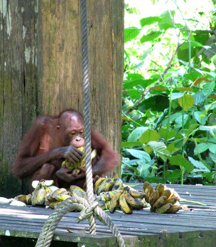 Orangutan en Sepilok, Borneo
