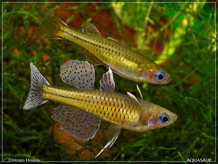 Blue eye rainbowfish freshwater fish pinterest blue for Blue freshwater fish
