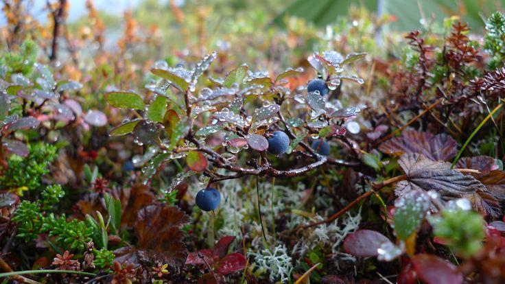 blue berries in autumn-shirt