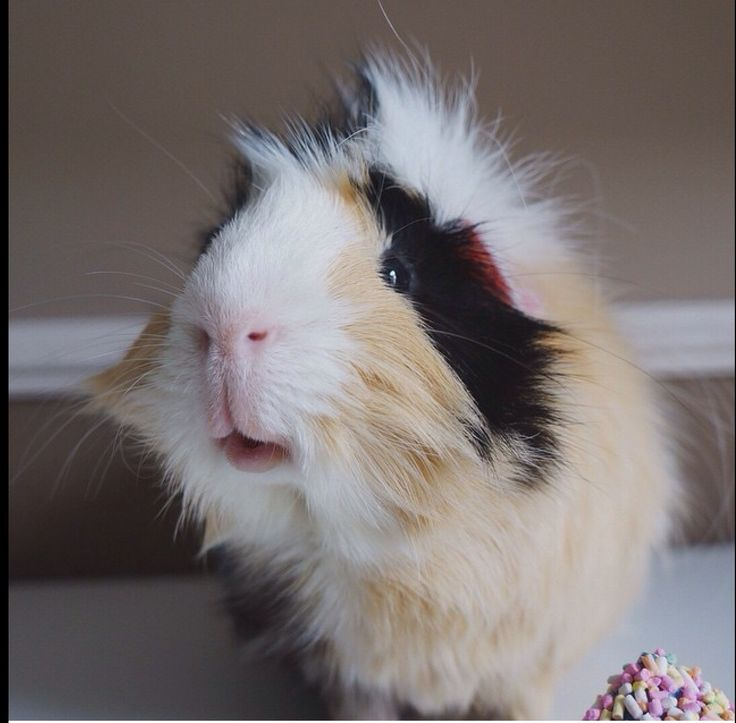 388 Best Images About Sweet Guinea Pigs & Bunnies On