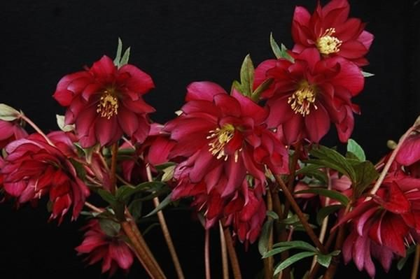 Helleborus hybridus Red Sapphire | Red Sapphire Hybrid Lenten Rose ...