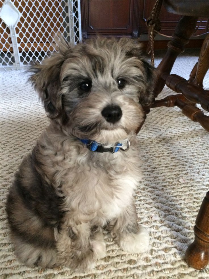 Blue Merle Schnoodle puppy. Hypoallergenic, non-shed.