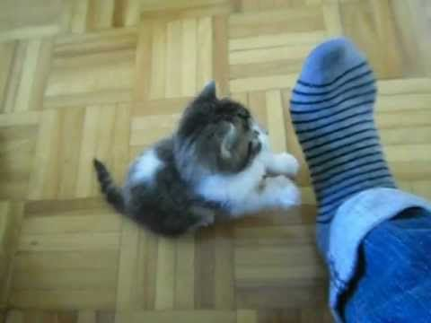 George the Kitten begins his attack on my foot