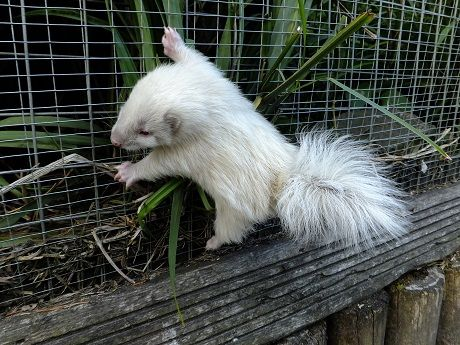 Caretakers at Five Sisters Zoo in Scotland weren't expecting any baby skunks— but one turned up in their skunk exhibit on June 4. Later that day they found an bigger surprise: the second kit to appear was an albino.