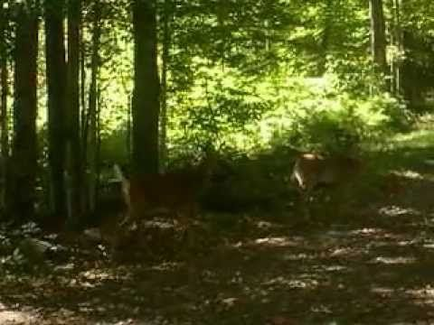 A Wild Deer and Her Fawn In My Yard | Pet Products Online - YouTube - Watch pet products videos about Pet Products Online on my YouTube channel at: http://www.youtube.com/user/mypetproductreviews