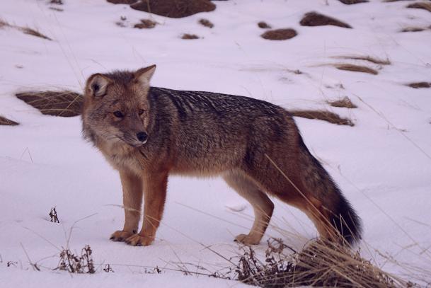 mi zorro colorado-ushuaia by flickr.com/transatlantico