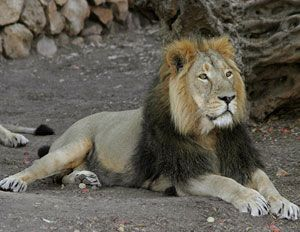 Sasan Gir - THe Last Home Of Asiatic Lions
