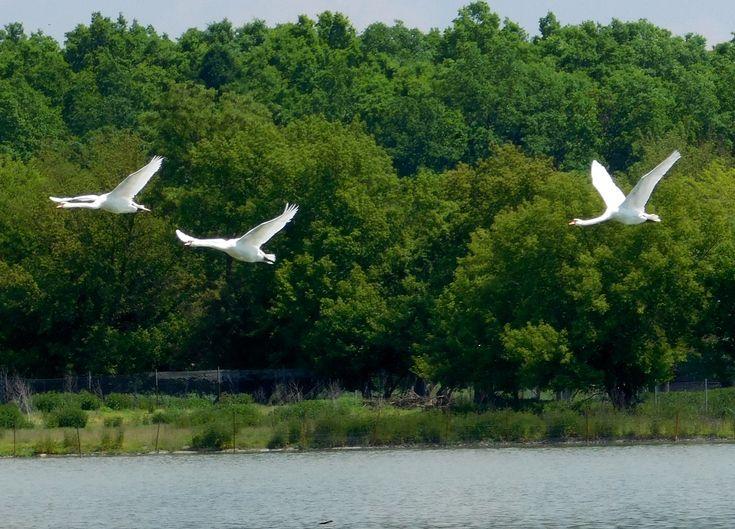 Let labutí nad Písečným rybníkem