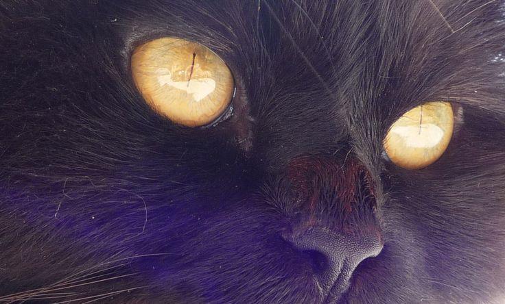 yeux de chat couleur or