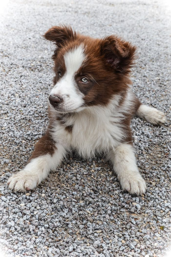 red border collie pup ~
