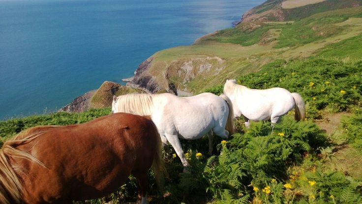 Ponies at Cwm Tydu, Wales © National Trust