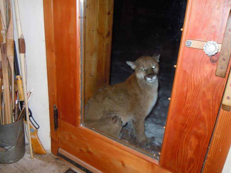 Un lynx demande l'hospitalité!