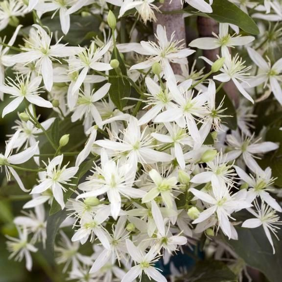 328 best flowers and plants that i have and or want images on clematis sweet autumn ittle white blooms cascading atop deep green climbing vines and mightylinksfo