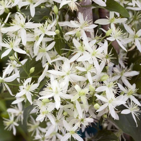 Fragrant flowering vines garden inspiration climbing plants that produce fragrant flowers home furniture mightylinksfo