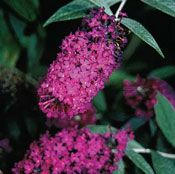 Show product details for Attraction Buddleia Plant