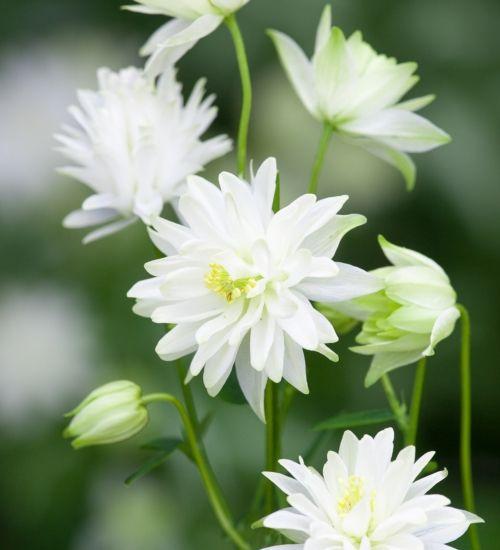 Best 46 white border plants ideas on pinterest white flowers aquilegia munstead white border plantsperennial mightylinksfo