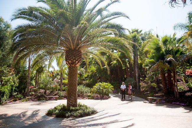 Canary island date palm in Melbourne