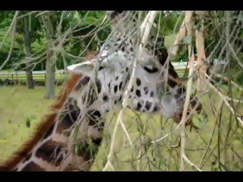 Giraffes in Knowsley Safari Park, United Kingdom (Girafe în Parcul Safar...