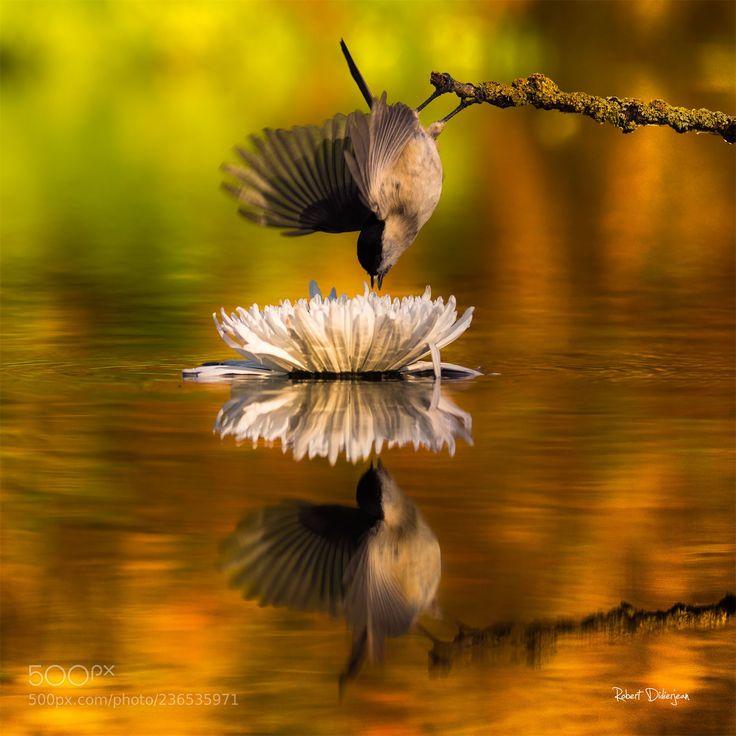 Marsh tit in balance (Robert Didierjean / ALSACE / FRANCE) #NIKON D810 #animals #photo #nature