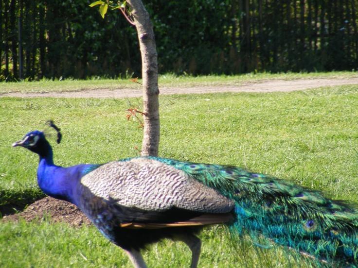 Peacock / Reahen ?? - let me know , thanks