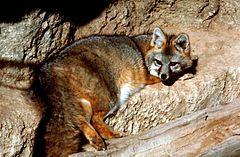 raposa-cinzenta