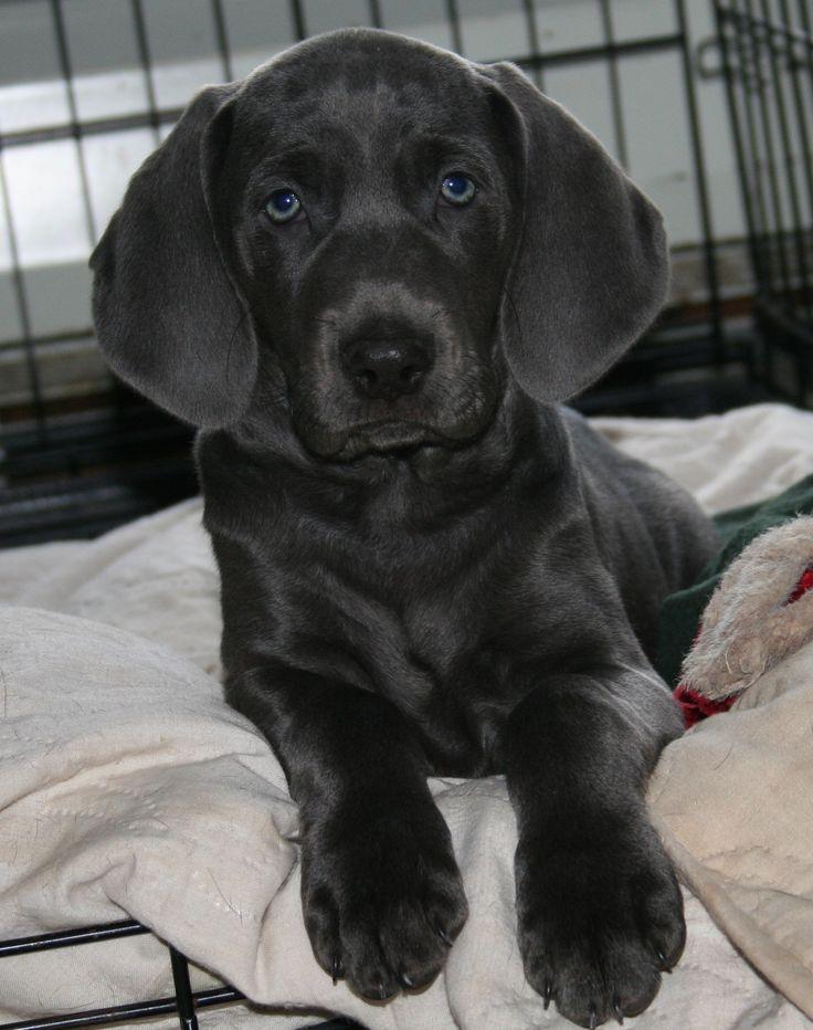Blue Eyed Short Haired Dog
