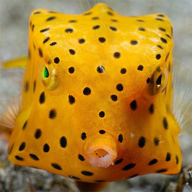 The Cubicus Boxfish is also referred to as the Yellow Boxfish, Polka Dot Boxfish, or Cube Boxfish. - http://www.vocerealmentesabia.com/2013/01/peixes-exoticos-peixe-cofre-amarelo.html