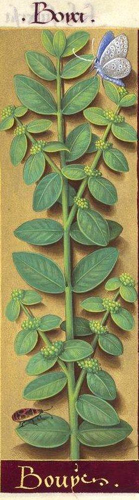 Bouys - Boyci (Buxus sempervirens L. = Buis) -- Grandes Heures d'Anne de Bretagne, BNF, Ms Latin 9474, 1503-1508, f°221v