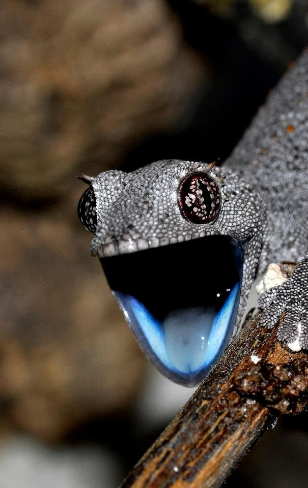 And the greatest should-be-an-emoji award goes to this gecko! This would be an awesome emoji! Smiley Gecko!