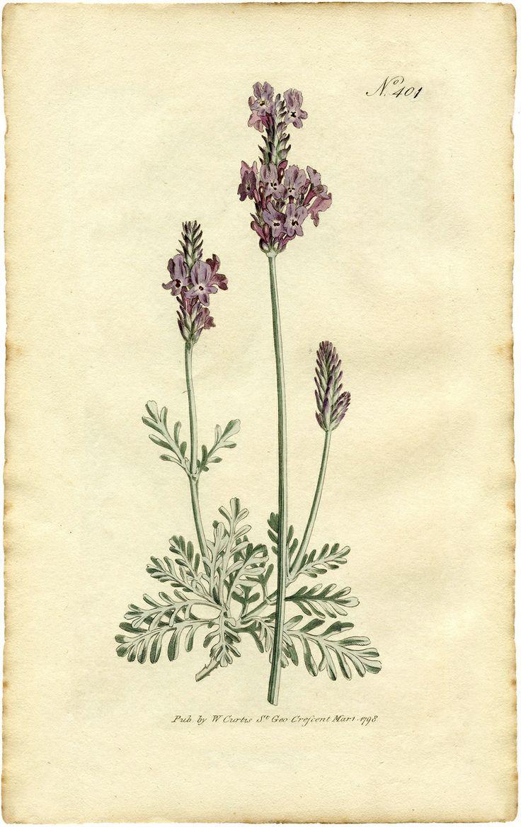 best Carte visite images on Pinterest Botanical illustration