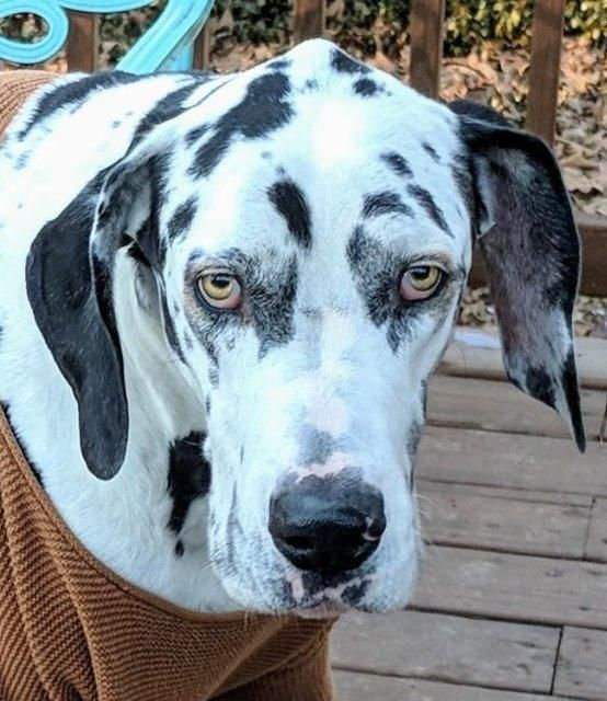 Great Dane Dog For Adoption In Little Rock Ar Adn 776694 On