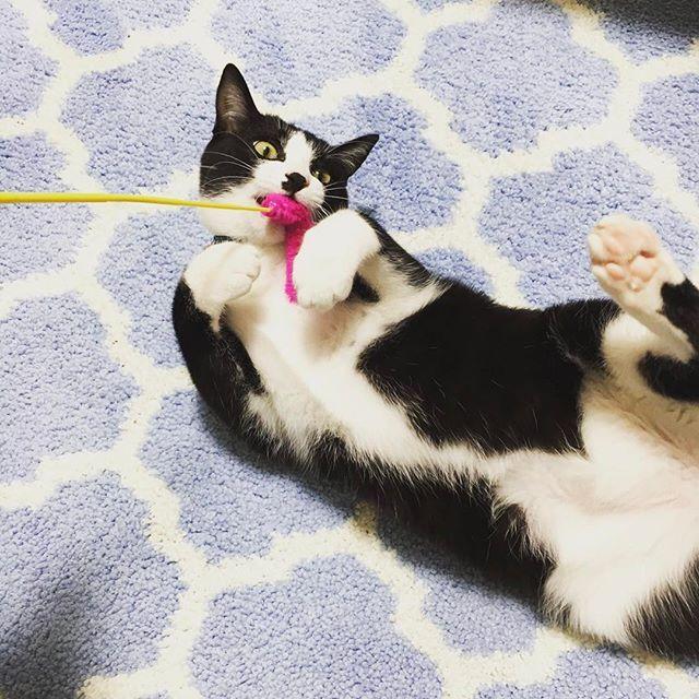悪そうな顔👻👻💦 今日はこれから念願のいちご狩りに行って来ます(^_^)🍓 天気良くてよかった〜〜 #🐈#ケイくん#猫#日本猫#子猫#愛猫#黒白猫#タキシードキャット#ハチワレ#ネコ#靴下猫#にゃんすたぐらむ#猫部#男の子#ふわもこ部#にゃー #cat#babycat#pets#catstagram #petstagram#taxidocat#japan