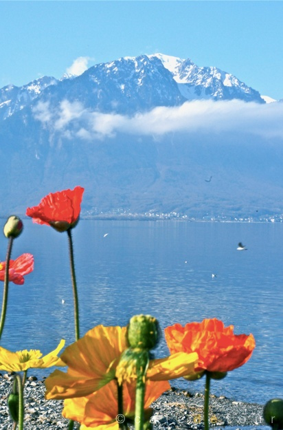 Colorful tulips along the Lake Geneva