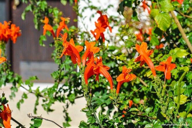Кипр в моем сердце  -  Текомария  капская. Родиной считается Южная Африка. Раскидистое вечнозеленое, декоративное растение, часто встречается в виде кустарника, достигающее в высоту 2-3 м, а сформированное в виде лианы вырастает до 10 м. Довольно неприхотливое и быстрорастущее растение. Хорошо переносит обрезку. Предпочитает солнечные места или полутень, однако цветет лучше на прямом солнечном свету.