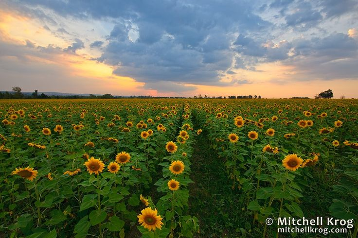 Sunflowers at Sunset by Mitchell Krog on 500px