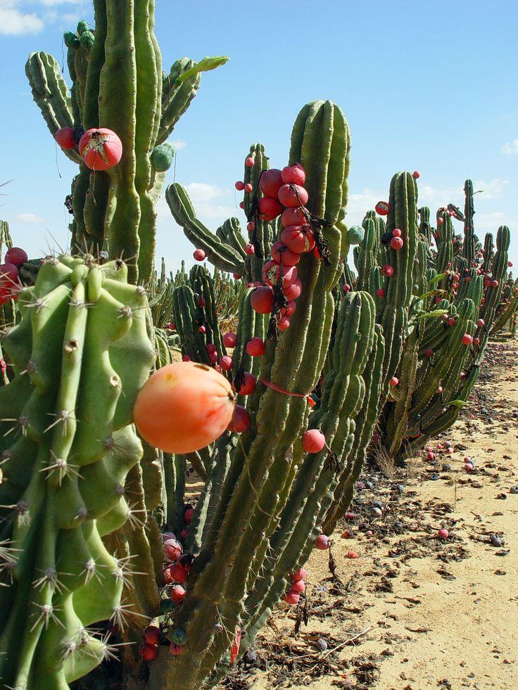 Pitaya in Israel by Etan Tal (courtesy Wikipedia)  aka dragon fruit orchard!