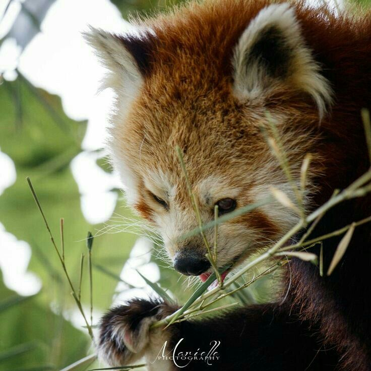 Pin By Mona Moni On Panda E Kuqe Cute Animals Animals Red Panda