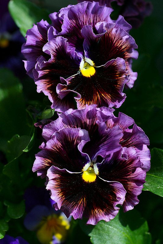 *Color Inspiration* Did you know that you can eat pansies? They're a bit spicy sort of and are great for garnish. #LGLimitlessDesign & #Contest