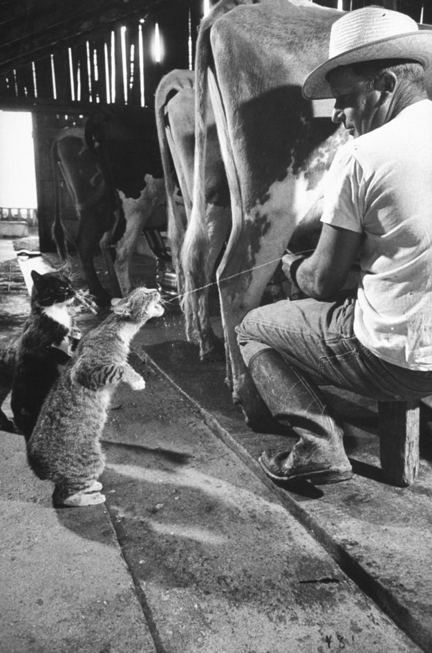In 1954, LIFE magazine's Nat Farbman photographed Fresno dairy farmer Arch Badertscher milking his cows alongside his barn cats Blackie and Brownie. | Community Post: You Can Milk A Cow Into A Cat