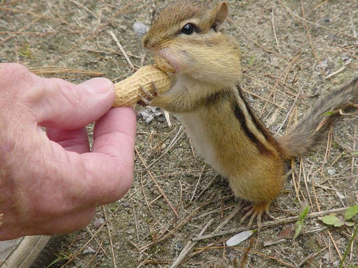 Best CHIPMUNKS Images On Pinterest Baby Animals Chipmunks And - Adorable chipmunks go on playful adventures with lego star wars toys