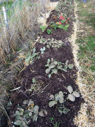 246 Best Images About Straw Bale Gardening On Pinterest
