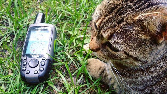 Hostessa o wdzięcznym imieniu Wódka prezentuje jeden ze sprzętów niezbędnych w poszukiwaniu skarbów. Więcej na blogu. ➡ neira.pl #neirawypełzaznory #blog #wpis #blogging #post #newpost #bloger #blogger #nowywpis #bloggers #blogging #Garmin #GPS #skarb #geocaching #poszukiwacze #łowcy #cache #skrzynki #nawigacja #treasure #hunter #cat #instacat #kot #instakot @geocaching