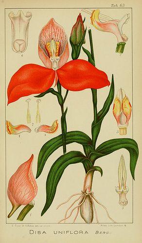 n336_w1150 | Icones orchidearum austro-africanarum extra-tro… | Flickr - Photo Sharing!