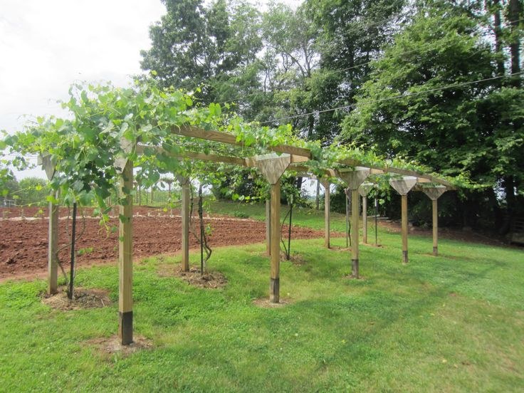 "Muscadine-type grape arbor... complete with spigots at each vine, each with ""drip"" feature for maximum benefit.  Posts, topped with cattle panels, 2 panels wide, 16' length for each vine.   The vines pictured here are 2 year old vines."
