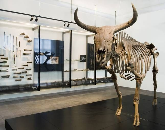 In a bog at Vig, Odsherred, the skeleton of a prehistoric aurochs found in 1905 by peat extraction. This enormous animal weighed nearly 1,000 kg, and its shoulder height was approximately 2 meters. It was the forest's largest and most dangerous animals. Stone Age hunters arrows could not resist. Aurochs grazed in Denmark in the last ice age phase, but disappeared again as the water rose.