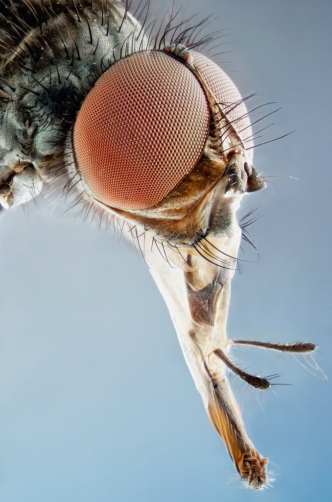 Diptera extended proboscis macro | Flickr - Photo Sharing!