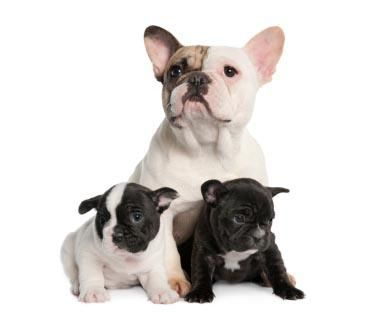 Image result for adult french bulldog