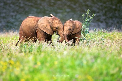 """""""Two babies and a thistle"""" by Marina Cano: Friends, Canoeing Wildlife, Baby Elephants, Elephants In Love, Thistles, Baby Animal, Wildlife Photographers, Marina Canoeing, Elephants 3"""